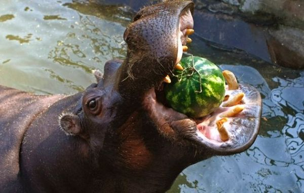 Hippo on the loose in Cape Town