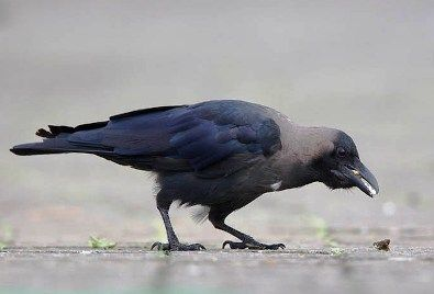 Dar es Salaam poisons crows