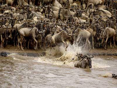 Concern over wildebeest migration