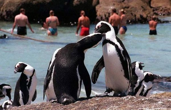 Cape Town's wandering penguins