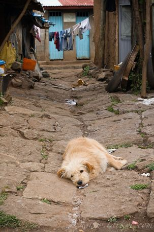 Stray dog cull in Addis Ababa