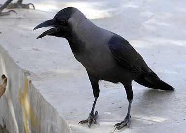 Dar es Salaam to poison Indian House Crows