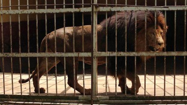 Lion kills zookeeper at Addis Ababa zoo