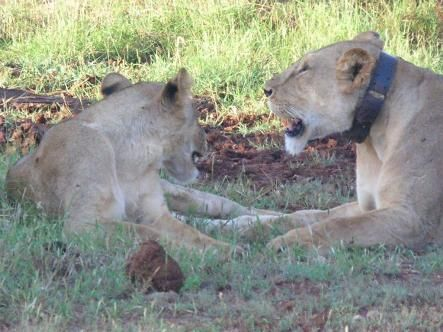 GPS collars fitted to Nairobi lions