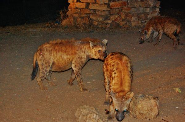 Urban hyenas pose threat in Addis Ababa