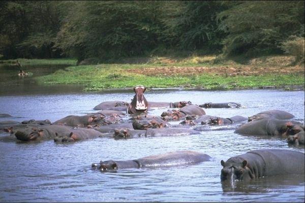 Hippo under threat in Lake Manyara