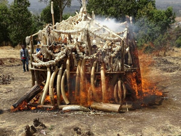 Ethiopia burns ivory to discourage poaching