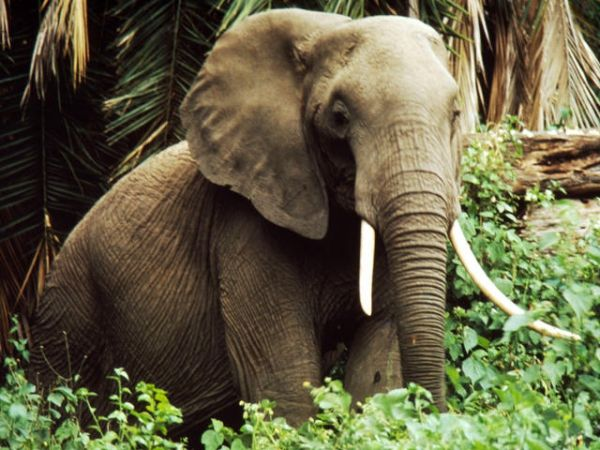 Slaughter of Mozambique elephants