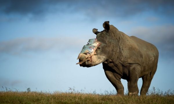 Mozambique police involved in theft of rhino horn