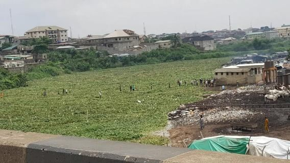 "Lagos river ""solidifies"" with vegetation"