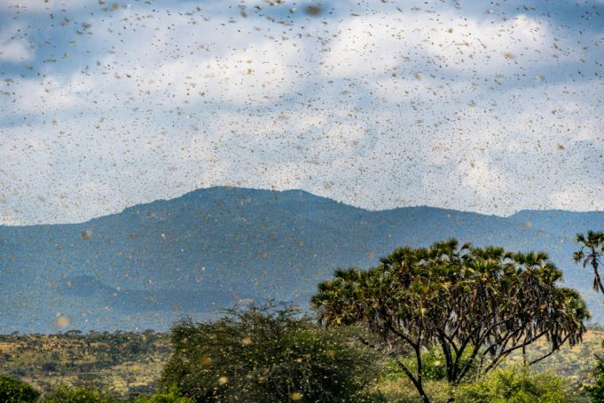 East Africa hit hard by the locust invasion