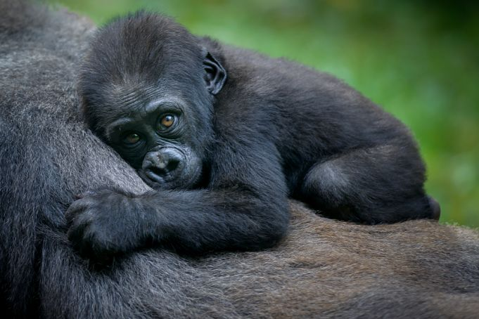 10 most Endangered animals in Africa