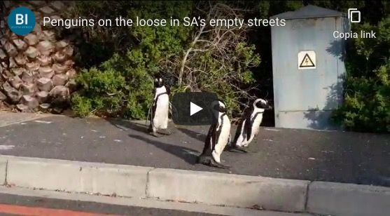 Penguins stroll Cape Town's streets during lockdown