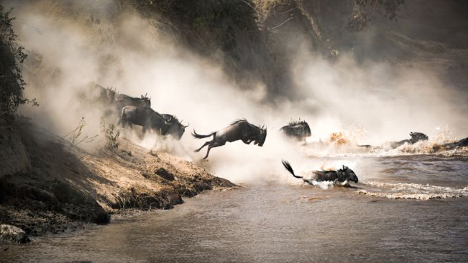Over 300 wildebeests die crossing the mara river