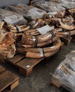 Major ivory seizure in Dar es Salaam - image 2