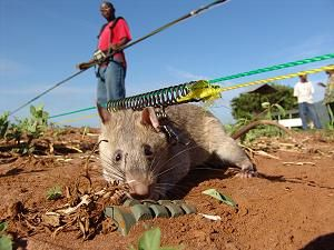Rats speed de-mining in Mozambique - image 2