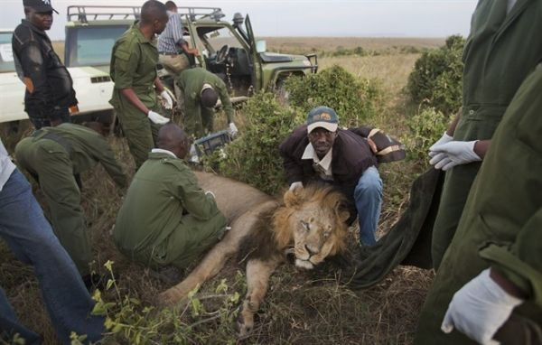 GPS collars fitted to Nairobi lions - image 2