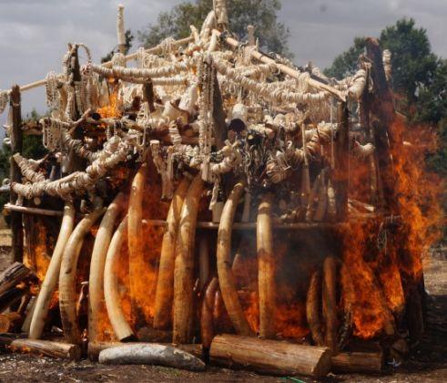 Ethiopia burns ivory to discourage poaching - image 3