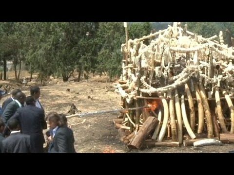 Ethiopia burns ivory to discourage poaching - image 2