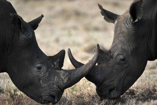Rhino horns go missing in Maputo - image 3