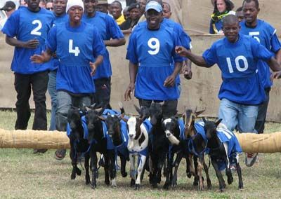 Annual Dar Goat Races - image 4