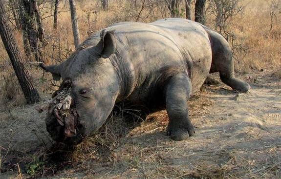 Rhino horns go missing in Maputo - image 4