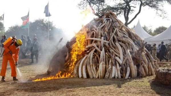 Mozambique to destroy confiscated ivory - image 3