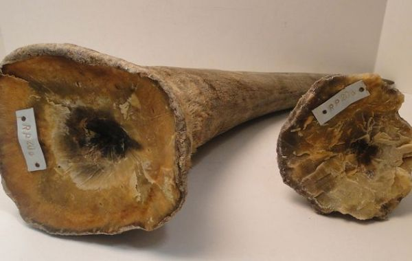 Mozambique to destroy confiscated ivory - image 1