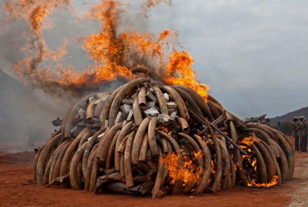 Mozambique to destroy confiscated ivory - image 4