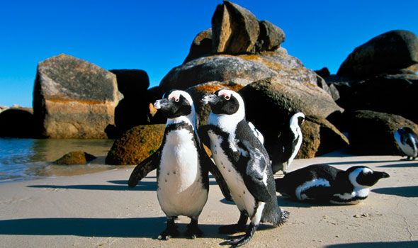 African Penguins at risk of extinction - image 4