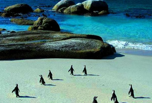 African Penguins at risk of extinction - image 1