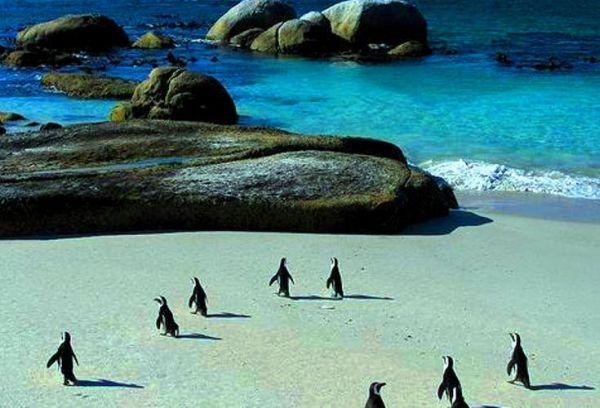 African Penguins at risk of extinction - image 1