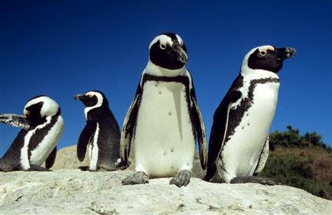 African Penguins at risk of extinction - image 3
