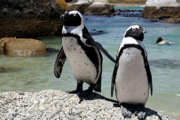 African Penguins at risk of extinction - image 2