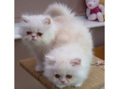 Cute persian kittens ready to go now