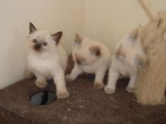 Blue Eyed Ragdoll kittens ready for new homes now