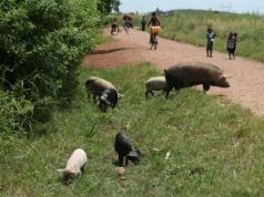 Swine fever outbreak in Maputo