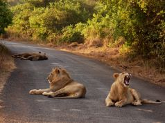 Nairobi keeps track of its lions