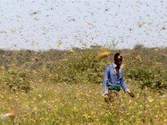 Locusts ravage Somalia