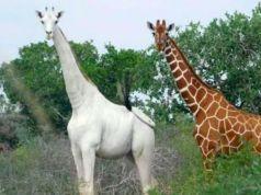 Rare Kenyan white giraffes killed by poachers