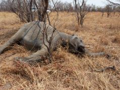 Why are Botswana elephants dying in their hundreds?