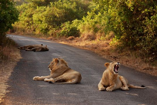 Nairobi keeps track of its lions