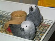 Baby greys for sale
