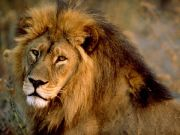 Six lions killed in Nairobi