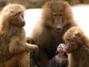 Cape Town battles with baboons