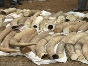 Major ivory theft in Maputo
