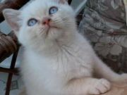 Attractive Pedigree British Shorthair Kittens