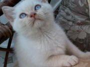 Attractive Pedigree British Shorthair Kittens