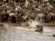 Concern over wildebeest migration