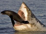 Only female sharks come to shore in Cape Town